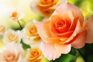 Почему роза королева цветов. Роза символ любви и верности