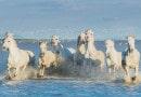 Где живут белоснежные лошади Камарга?