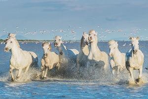Дикие лошади Камарга. Где обитает белая Камаргская лошадь?