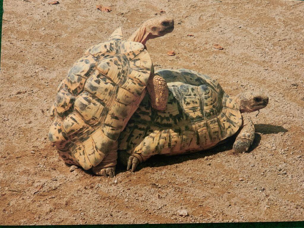 Черепахи размножаются