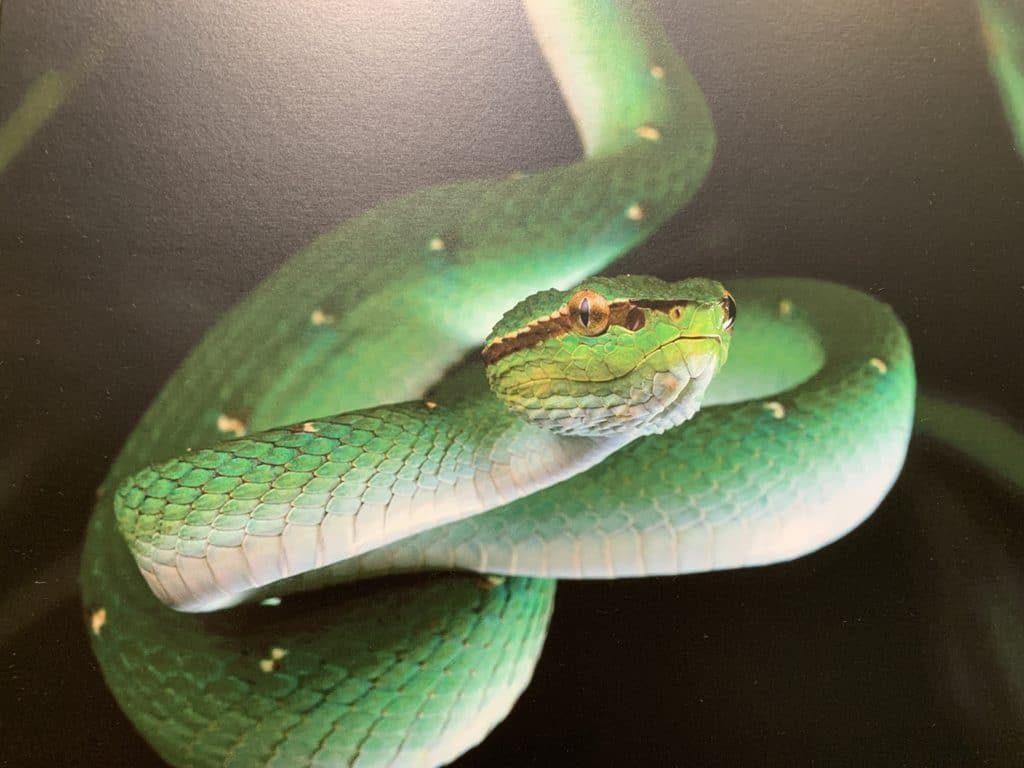 Змея зеленая