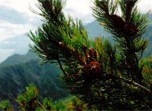 Вечнозеленое дерево это в основном хвойные деревья - ель, пихта, сосна, кедр.
