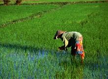 Как растет рис?