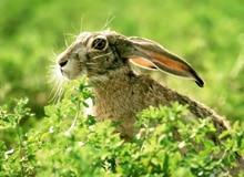 Какая разница между кроликами и зайцами?