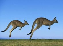 Как прыгает кенгуру?