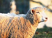 Каждый ли год у овцы вырастает шерсть?