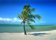 Что такое кокосовая пальма?