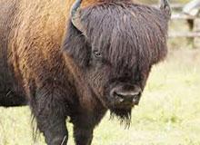 Есть ли разница между бизоном и зубром?