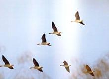 Как птицы узнают о времени перелета?