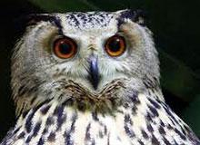 Может ли сова видеть ночью?