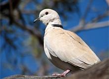 Какие бывают голуби?