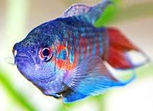 Есть ли у рыбы сердце?