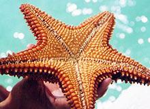 Есть ли глаза у морской звезды?