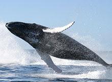 Почему киты всплывают?
