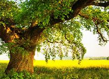 У какого дерева самая прочная древесина?