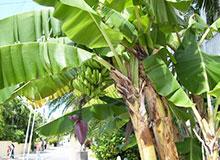Является ли деревом банановое дерево?