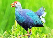 У какой птицы светские манеры?