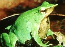 Какие из жаб откладывают яички в виде шнуров?