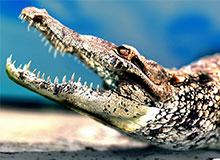 Какая разница между аллигатором и крокодилом?
