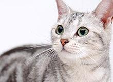 Кто приручил кошку?
