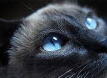Как устроен кошачий глаз?