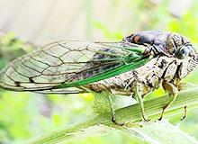 У кого из насекомых уши расположены на ногах?