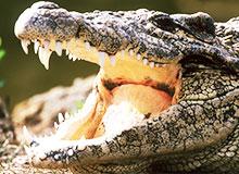 Бывают ли некровожадные крокодилы?