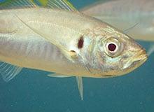 Умеют ли рыбы разговаривать?