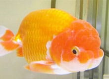 Что общего между карасем и золотой рыбкой?