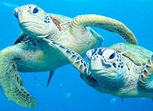 Почему морские черепахи скитаются по морям?