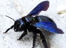 Может ли пчела быть плотником?