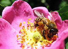 Опыление растений насекомыми и ветром. Как опыляются кустарники?