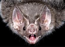 Слепы ли летучие мыши?