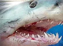 Как сменятся зубы у акулы?