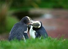 Бывают ли сухопутные пингвины?