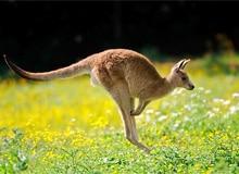 Где живут кенгуру?