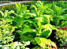Как выращивается табак?
