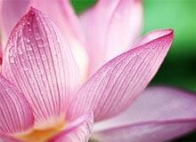 Лотос символ чистоты. Лотос значение в религии. Лотос в буддизме.