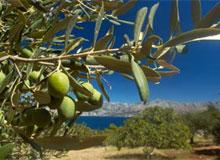 Откуда взялись оливки?