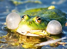 Как лягушки квакают?