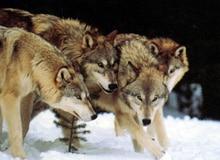 Как охотятся волки?