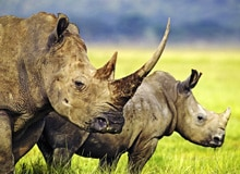 Где живут носороги?