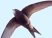 С какой скоростью могут летать птицы?
