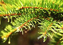 Когда опадают листья ели и сосны?