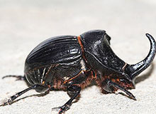 Какого жука в древности называли священным?