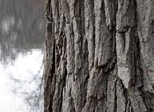 Зачем деревьям кора?