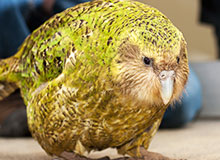 Какой попугай самый крупный?