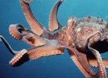 Чем опасен осьминог?