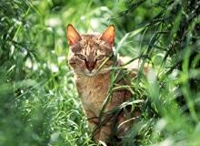 Все ли кошки мурлыкают?