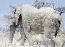 Существуют ли белые слоны?